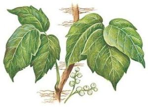Ivy steggie